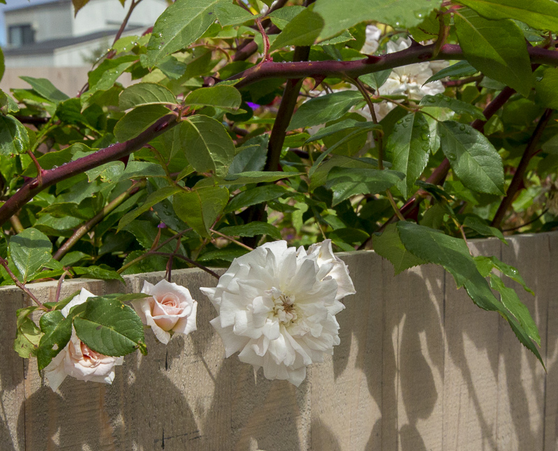 A closeup of a while flower and two pink roses against the garden fence.